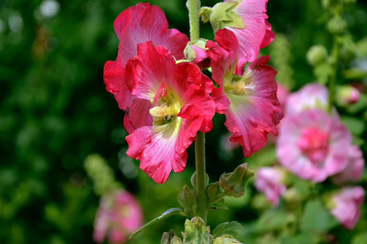 malwa-popularne-byliny-kolor-czerwony