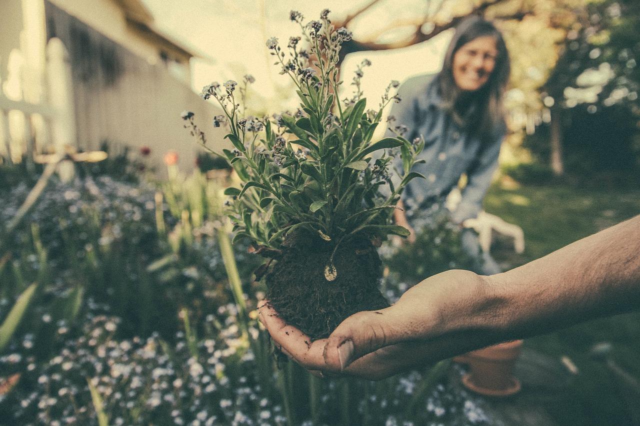 sadzenie-bylin